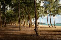 Trees on the Beach (tcmealy) Tags: trees hawaii oahu beach nikon d7200 tamron 2470mm travel