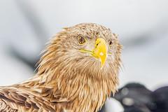 Wink (BenBoda) Tags: wildlife nature animal bird birdphotography eagle winter eyes beak canon1div canon400f56