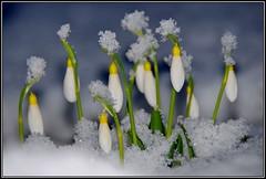Plicatus Madelaine (helkifoto) Tags: snowdrops schneeglöckchen sneeuwklokje snowdrop snow galanthus garten garden galanthusplicatusmadelaine