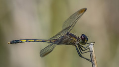 Erythrodiplax nigricans 2019.02.05_01 (carmen chase) Tags: argentina argentine fotomacrografía photomacrography macrofotografía macrophotography action acción macro insect insecto animalia hexapoda insecta pterygota palaeoptera odonata anisoptera libellulidae sympetrinae erythrodiplax nigricans dragonfly dragonflies libélula a7riii ilce7rm3 sony telemacro canon 500d lente lentilla de aproximación 2 dioptría dioptre close up lens recs