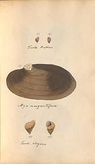 n54_w1150 (BioDivLibrary) Tags: greatbritain mollusks museumsvictoria bhl:page=57640225 dc:identifier=httpsbiodiversitylibraryorgpage57640225 conchologicaldictionary conchology shells britishisles britishislands williamturton british