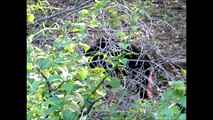 Caution Bear at work.. (cscott_va.) Tags: bear virginia shenandoah national park wildlife blackbear