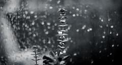 Distinct (Rohit KC Photography) Tags: distinct plant home bokeh swirl blackandwhite bw vignette background oldlens helios manual manuallens rainyday waterdrops leaves