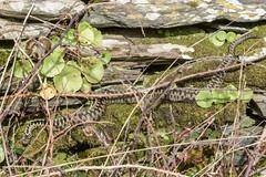 Adder - Viper berus 3a (Matchman Devon) Tags: adder viper berus south hams devon