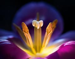 purple tulip (marianna armata) Tags: purple flower tulip macro plant spring bloom blossom stamen pistil centre inside petal mariannaarmata