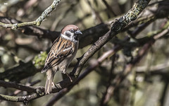 Rare beauty (davidrhall1234) Tags: treesparrowpassermontanus treesparrow rspbfairburnings rspb reserve birdreserve naturereserve yorkshire england springwatch birds bird birdsofbritain beak countryside conservation feather nature nikon outdoors perch world woodland wildlife