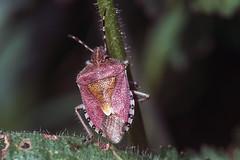 insecto escudo (perez rayego) Tags: insectoescudo dolycorisbaccarum insect sloebug pentatomidae macrophotography macro sloeshieldbug