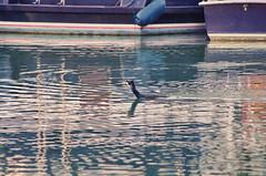 309 - Paris - Février 2019 - et un Cormoran sur le Bassin de La Villette (paspog) Tags: paris france canal février 2019 cormoran bassindelavillette