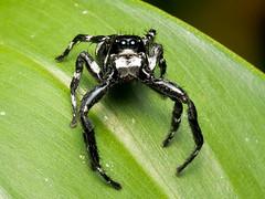 Springspinne (Eerika Schulz) Tags: springspinne spinne spider jumping ecuador puyo eerika schulz