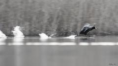 The Fast and The Furious (mirosławkról) Tags: poland silesia wild wildlife water winter pond lake animal bird sunrise bokeh 150600 nikonnaturephotography nikon łyska coot fulica atra blackandwhite