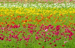 California Flower fields (moonjazz) Tags: yellow red white spring flowers field color california carlsbad bloom beauty beautiful manet mone wonder nature pure daytrip dazzel vivid pastel moonjazz wow excellent agriculture
