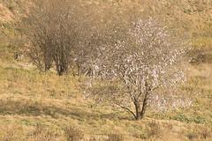 Primavera (Joaquim F. P.) Tags: natura joaquimfp tarragona flora almendros salou spain sony alpha ilce 6300 a6300 mirrorless camera catalunya sel55210 zoom telezoom emount evil ilce6300 apsc sensor nex ilc milc bealpha països catalans cataluña catalonia europe turismo visit visitsalou livesalou