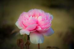 Flower (Jeong Kab Cheol) Tags: flower macro nikon nature 모란 식물 자연 니콘 카메라 사진 꽃 花 牡丹 ボタン 春 写真 ニコン 自然 植物