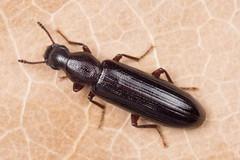 Boros schneideri (NakaRB) Tags: 2017 insecta coleoptera borosschneideri boridae