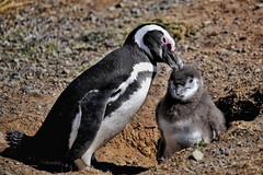 Little Nibbles (Timothy Hastings) Tags: hatch young chicks rearing nurturing nature wildlife chilean lighthouse ground burrowers magellanicpenguins colony penguin chile magdalenaisland