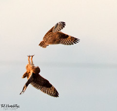 Territorial dispute for short eared owls (Ted Humphreys Nature) Tags: shortearedowls owls raptors birdsofprey predators britishisles tedhumphreysnature