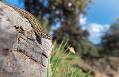 Lagartija cenicienta/ Spanish sand lizard (Psammodromus hispanicus) (Jacobo Quero) Tags: lagartijacenicienta lagartija lizard herping reptile reptil psammodromus animal nature naturaleza málaga nikon