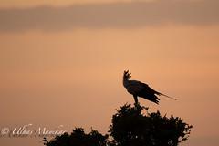 Secretary bird silhouette (mayekarulhas) Tags: silhouette secretary bird masaimara kenya safari canon canon500mm canon1dxmark2 wildlife wild avian africa