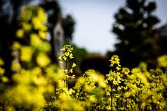 峠の菜の花ーCanola flowers of the pass (kurumaebi) Tags: yamaguchi 秋穂 山口市 nikon d750 nature landscape 花 菜の花 flower canolaflower canola 地蔵 石仏 spring 春