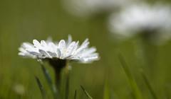 Daisies (Nick Landells) Tags: lakedistrict lakelandphotowalks guided photo photography fell hill walk walks walking daisy daisies grass lawn