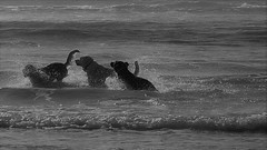 Good Dogs (Rand Luv'n Life) Tags: monday music mania our daily challenge old blue song joan baez dogs playing ocean beach ob san diego california water spray wave monochrome blackandwhite outdoor