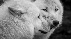 Hugs (nathalie beauchamp) Tags: loup white blanc wolves nikon zooparcdebeauval zooparc zoo regard eyes calins hugs poils truffes animal animaux