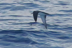 Black-vented Shearwater, Central Pacific Coast, Mexico_7340(1) (Patterns and Light) Tags: 2018 mexico puffinus opisthomelas puffinusopisthomelas leucistic leucism