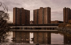 Geese in the City... This picture shows us the resilience of nature, even in polluted water these geese still thrive.. Let's protect our city, and it's waters. (cesar.toribio1218) Tags: pollution nycwildlife nycphotography nycparks ny bronx protectourwater geese clean protect saveourplanet