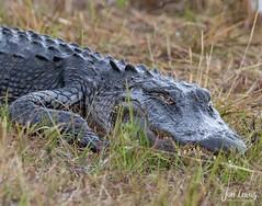 Florida Alligator (jklewis4) Tags: evergladesnationalpark florida southflorida alligator animal reptile