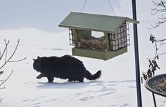 2019 - Day 20:  on the prowl (Mark.Swanson) Tags: cat snow winter birdfeeder