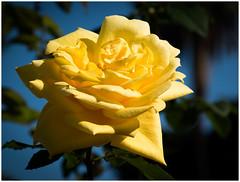 Sweet Yellow Rose of... Tenerife 😉 (kurtwolf303) Tags: rose yellow gelb blume pflanze plant flower nature natur kurtwolf303 blüte blossom nikond5500 color