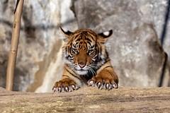 Was für Krallen (Ria Trouw) Tags: tierparkberlin tierpark berlin tiere tierkinder raubkatzen raubtiere säugetiere grosskatzen