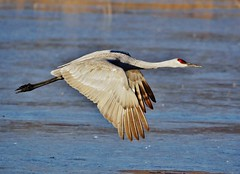Crane In Flight (Susan Roehl) Tags: bosquedelapachenationalwildliferefuge newmexico usa sandhillcrane antigonecanadensis largecrane northamerica flysouthforwinter flocksovertenthousand albuquerque fairlysocialbirds liveinpairs survivalgroups forageroosttogether herbivorous differenttypesoffood seeds corn wheat snails reptiles amphibians cottonseed sorghum sueroehl photographictours naturalexposures lumixdmcgh4 100400mmlens handheld coth5 ngc