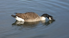 Canada goose (Deanne Wildsmith) Tags: goose canadagoose bird bartonmarina staffordshire earthnaturelife