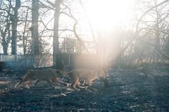 DSC_0128 (Aurmorea) Tags: zoo thoiry lion tiger sunset goldenhours