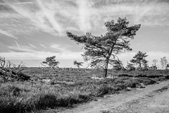 Kalmthoutse Heide (Peter Jaspers (sorry, less time to comment)) Tags: frompeterj© 2019 olympus zuiko omd em10 1240mm28 bw bn blackwhite kalmthout belgium kalmthoutseheide grenspark hike tree grass heath moorland heide landscape sky
