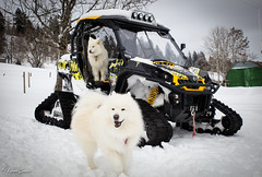 Jeux (Kilian Sanlis) Tags: doubs franchecomté nature wild motherwood hiver winter snow neige fourgs samoyede samoyed chien dog animal canon eos 5d tamronsp2470mmf28divcusd