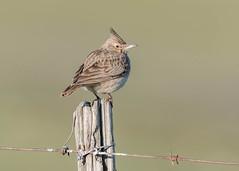 Crested Lark (tickspics ) Tags: birds crestedlark spain europe extremadura magascaplains alaudidae galeridacristata