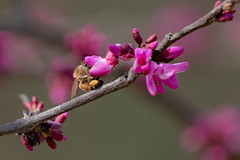First flowers of Spring (scottryantucker) Tags: bee spring flower pollen branch nature honey pink bug bugs insect insects bloom blooming sony 100400 a7riii a7r3