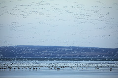Spring Snow (Matt Champlin) Tags: life snow geese migraiton snowgeese flock flocking lake ice skaneateles spring springtime migrations beautiful wild wildlife flx fingerlakes canon 2019