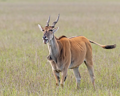Female Eland (Photobirder) Tags: femaleeland frothingatmouth eastafrica masaimara kenya