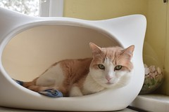 Otis in the cat-head bed (rootcrop54) Tags: cc100 otis dilute orange ginger tabby male cat whiskas catheadbed neko macska kedi 猫 kočka kissa γάτα köttur kucing gatto 고양이 kaķis katė katt katze katzen kot кошка mačka gatos maček kitteh chat ネコ cc300