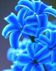Hyacinth a myth (Senol.Empliouk) Tags: macro flower hyacinth photo photography nature closeup sony sonyalpha sel90m28g