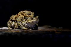 Erdkröten (wolf2412) Tags: nature toads mating kröten natur krötenwanderung