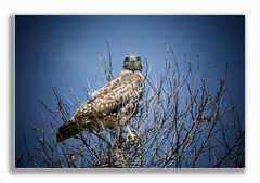 Hawk (Rohit KC Photography) Tags: hawk birds bird wildlife majestic wildlifephotography canon sky branches tree preserve fun rohitkcphotography telephoto canondslr canon5d2 vignette lightroom outdoors nature outside hiking ishootraw funphotography hobby amateur loveforphotography photo photography