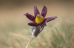 Pulsatilla pratensis (Torok_Bea) Tags: pulsatilla pratensis nigricans kökörcsin feketekökörcsin nationalpark beautiful nikon nikond7200 natur nature amazing wildflower sigma105 sigma105mm budaihegység pulsatillapratensis anémonepulsatille