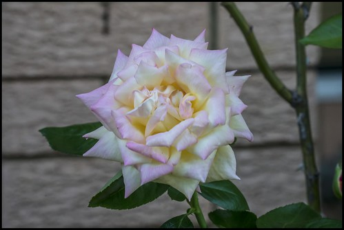 The Peace Rose blooms again-1=
