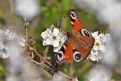 inframous beauty (Paul Wrights Reserved) Tags: spring blossom springblossom butterfly butterflies framed beautiful beauty red peacock peacockbutterfly redbutterfly flower flowers stamen feeding insect insects nature wildlife bokeh