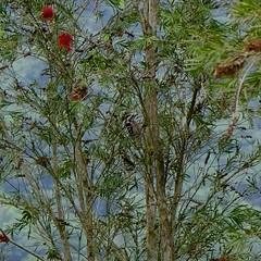 Wood pecker (theq629) Tags: bird woodpecker carplake taiwan hualian