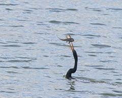 Anhinga (geoffstokes296) Tags: wader trinidadtobago trinidad tobago anhinga bird